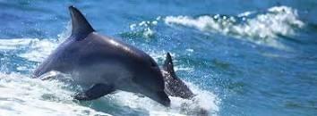 dolphines - kangaroo island
